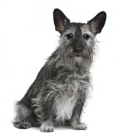 Old crossbreed dog between Jack Russell Terrier and a Scottish Terrier, 10 years old, sitting in front of white background