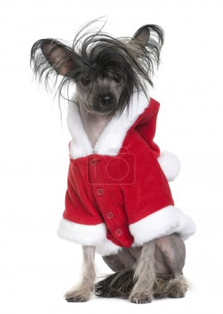 Chinese Crested Dog in Santa coat, 1 year old, sitting in front of white background