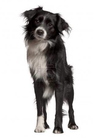Border collie, 2 years old, standing in front of white background, studio shot