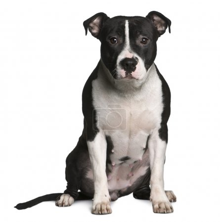 American Staffordshire terrier, 11 months old, sitting in front of white background