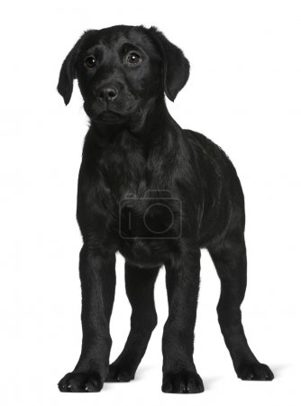 Labrador puppy, 3 months old, standing in front of white background