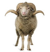 Arles Merino sheep, ram, 1 year old, sitting in front of white background