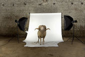 Arles Merino sheep, ram, 3 years old, standing in photo shoot studio