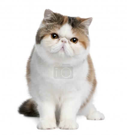 Exotic shorthair cat, 8 months old, sitting in fro...