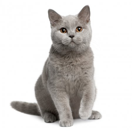 Photo pour Chat British shorthair, 7 mois, assis en face de fond blanc - image libre de droit