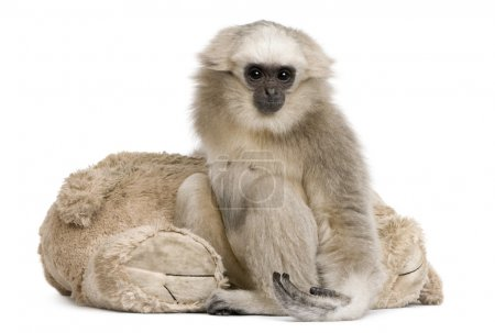 Young Pileated Gibbon (1 year)