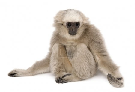 Young Pileated Gibbon (4 months old)