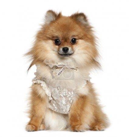 German Spitz dressed in lace, 15 months old, sitti...