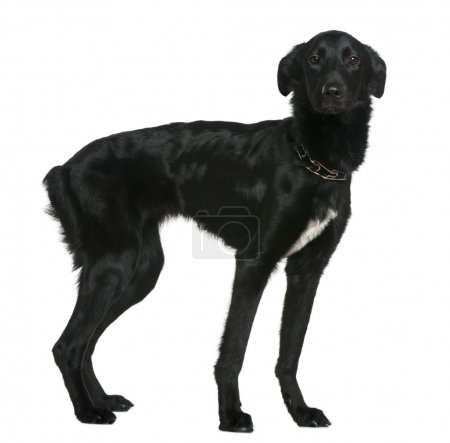 Mixed breed dog, 1 and a half years old, standing in front of white background