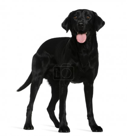 Labrador retriever, 3 years old, standing in front of white background