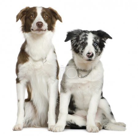 Two Border Collies, 11 months and 4 months old, sitting in front of white background