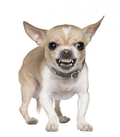 Angry Chihuahua growling, 2 years old, in front of...
