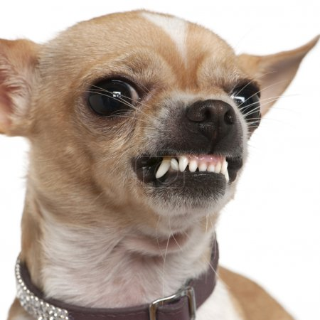 Close-up of angry Chihuahua growling, 2 years old,...