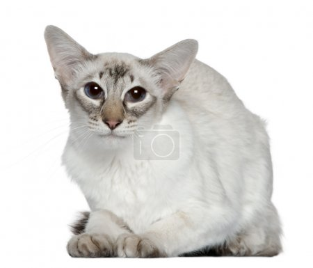 Balinese cat, 2 years old, in front of white background