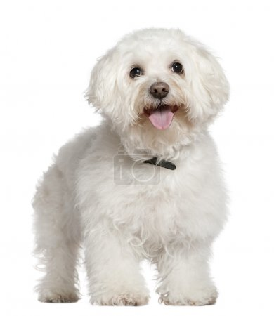 Bichon frise, 13 and a half years old, standing in front of white background