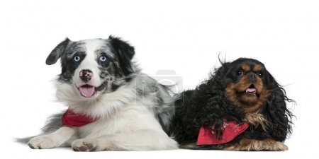 Border collie and Cavalier King Charles Spaniel, 11 months old and 4 years old, lying in front of white background