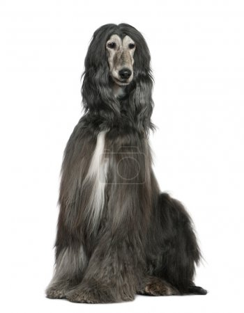 Afghan hound, 7 years old, sitting in front of whi...