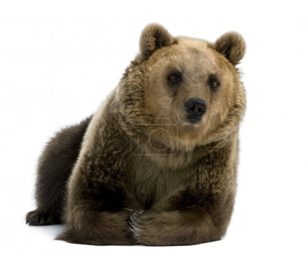 Female Brown Bear, 8 years old, lying down against white background