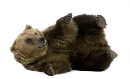Brown Bear, 8 years old, lying in front of white background
