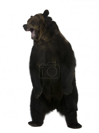 Photo for Grizzly bear, 10 years old, standing upright against white background - Royalty Free Image
