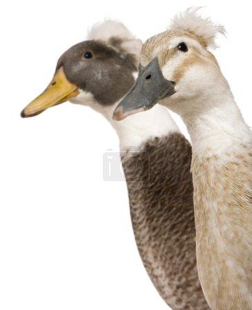 Photo pour Gros plan sur les canards crêpés mâles et femelles, 3 ans, debout devant un fond blanc - image libre de droit
