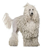 White Corded standard Poodle standing in front of white background