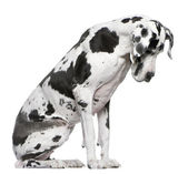 Great Dane Harlequin sitting in front of white background looking down