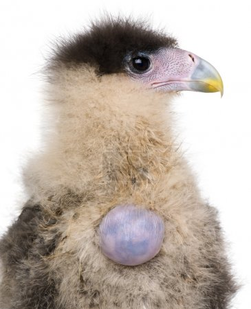 Southern Caracaras, 20 days old, with egg against white background
