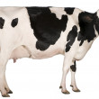 Holstein cow, 5 years old, standing in front of wh...