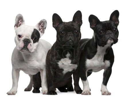 French Bulldogs, 11 months old, 3 and 6 years old, sitting and s
