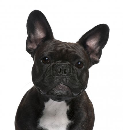 Photo for Close-up of French Bulldog, 18 months old, in front of white background - Royalty Free Image