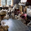 Portrait of 24 dogs in a living room in front of a...