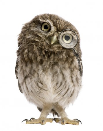 Photo for Little Owl wearing magnifying glass, 50 days old, Athene noctua, standing in front of a white background - Royalty Free Image