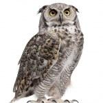 Great Horned Owl, Bubo Virginianus Subarcticus, in...