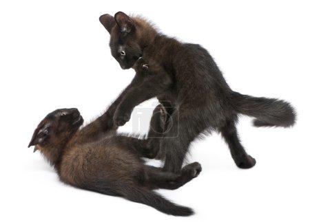 Photo pour Deux chatons noirs jouant ensemble devant fond blanc - image libre de droit