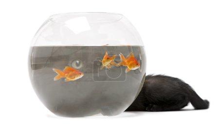 Photo pour Chaton noir regardant le poisson rouge, Carassius Auratus, nageant dans un bol à poisson devant un fond blanc - image libre de droit
