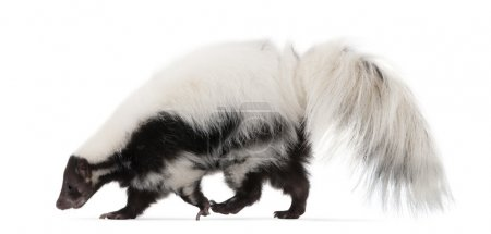 Striped Skunk, Mephitis Mephitis