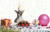 Chihuahua at table wearing birthday hat and looking at birthday cake