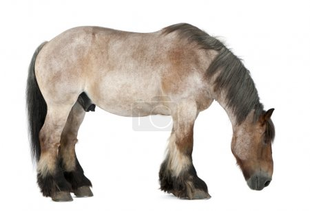 Belgian horse, Belgian Heavy Horse, Brabancon, a draft horse breed