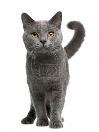 Chartreux cat, 16 months old, sitting in front of white background