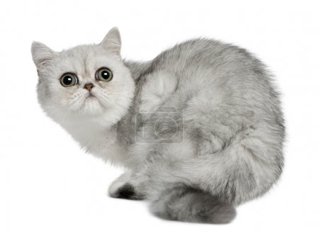 Exotic Shorthair cat, 5 months old, sitting in front of white background and looking up