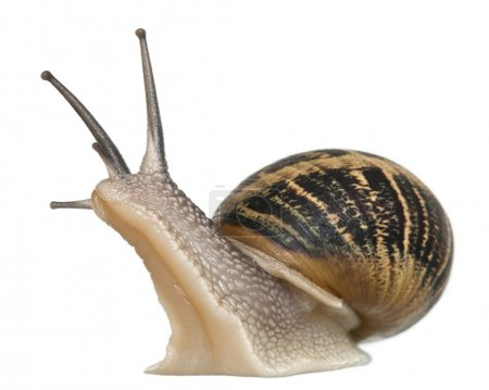 Photo for Garden Snail in front of white background - Royalty Free Image
