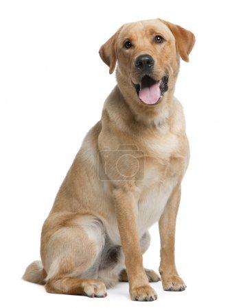 Photo pour Labrador retriever, 12 mois, assis en face de fond blanc - image libre de droit