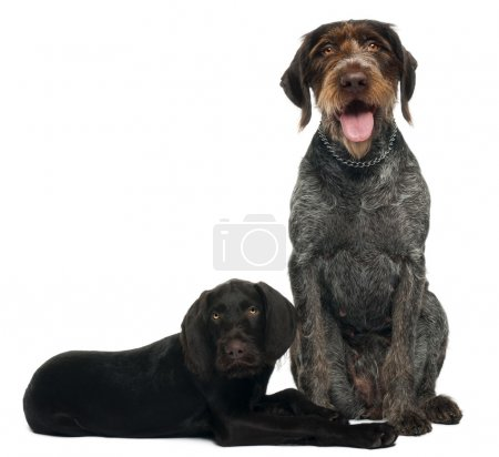 German shorthaired pointer puppy, 3 months old, sitting in front of white background and 6 years old, sitting in front of white background