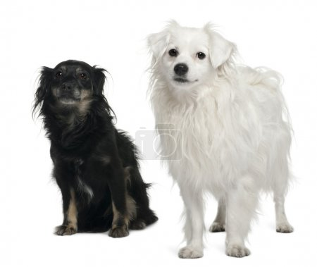 Mixed-breed, 3 and 6 years old, sitting in front of white background