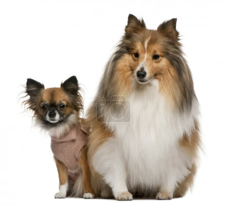 Chihuahua, 2 years old, and Shetland Sheepdog, 4 years old, dressed up and sitting in front of white background