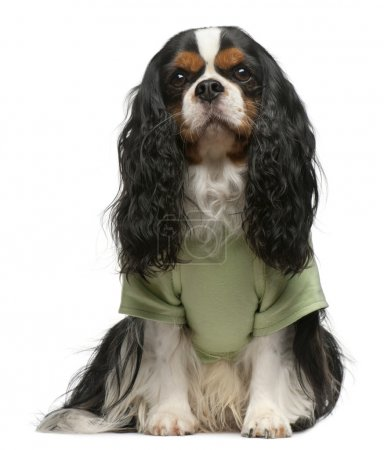 Cavalier King Charles Spaniel, 5 years old, dressed up and sitting in front of white background