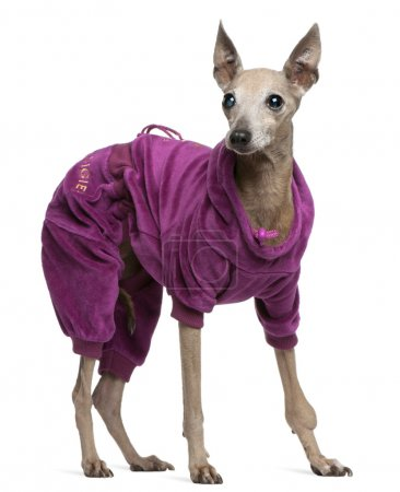 Italian Greyhound, 13 years old, dressed up and standing in front of white background