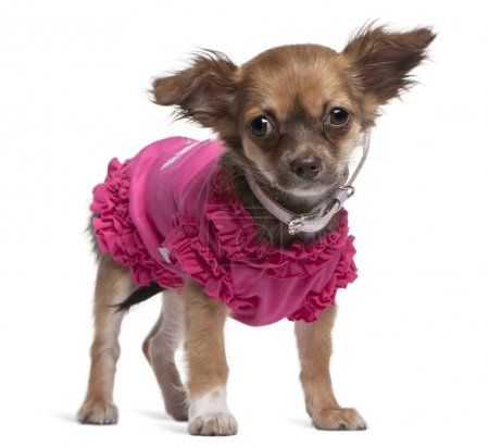Young Chihuahua dressed in pink standing in front of white background
