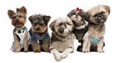 Shih Tzu's, 3 years old, 2 years old, 8 months old, and Yorkshire Terriers, 2 years old and 6 months old, dressed up and sitting in front of white background